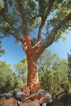 Un chêne-liège après une récolte